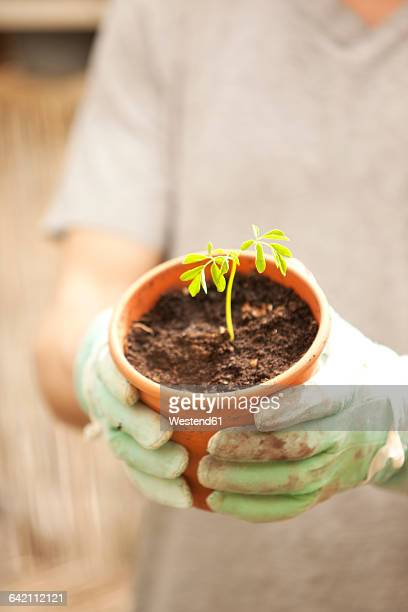Hand with glove holding flowerpot with Moringa seedling