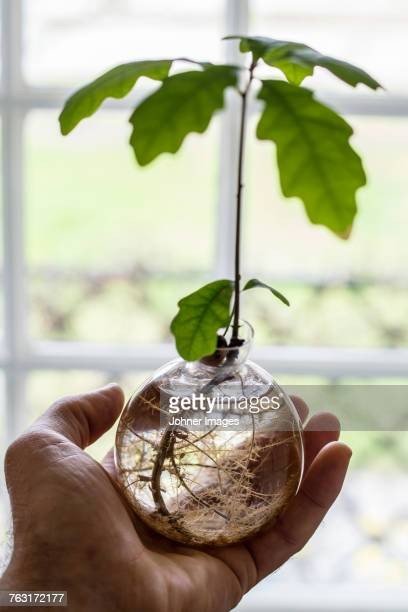 Hand with oak tree in vase