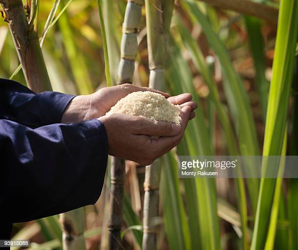hand with processed sugar cane in field - sugar cane stock pictures, royalty-free photos & images