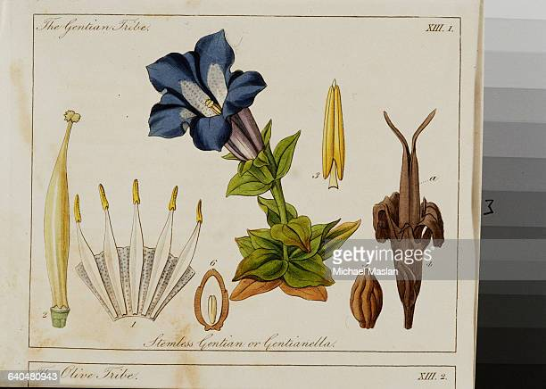 A handcolored drawing of a blue gentian from John Lindley's Ladies' Botany The flower and its parts are diagrammed