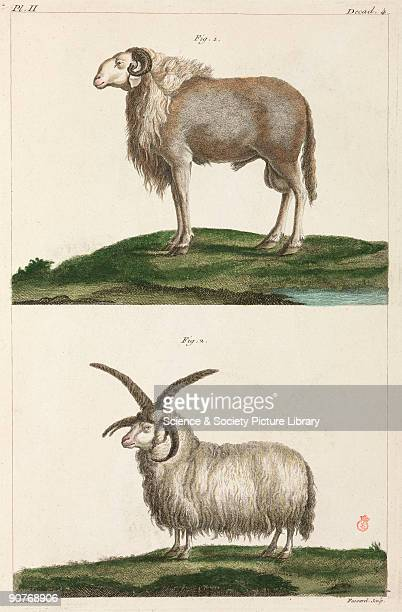 Handcoloured engraving of a ram from Guinea which has longer legs than the European ram no wool but short hair like a dog�s and long floppy ears It...