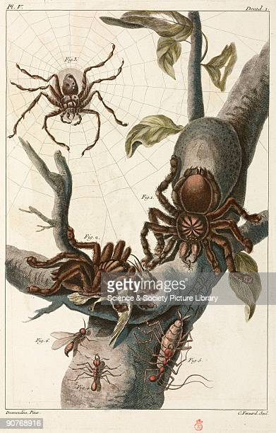 Handcoloured engraving showing 1 2 large spiders one of which is eating a hummingbird 3 hunting spider 4 large ant and 5 its larva 6 winged ant...