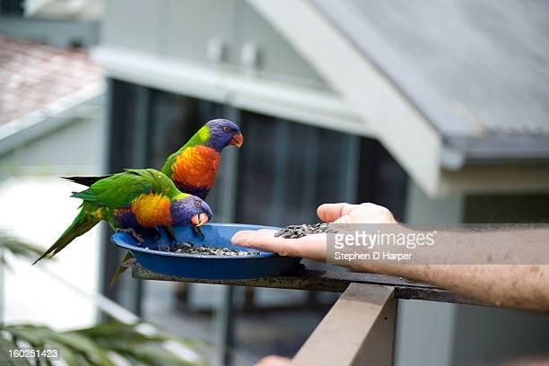 Hand-feeding Rainbow Lorikeets