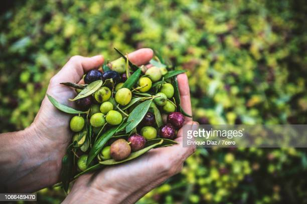 a handful of arbequina olives, freshly harvested - cataluña fotografías e imágenes de stock