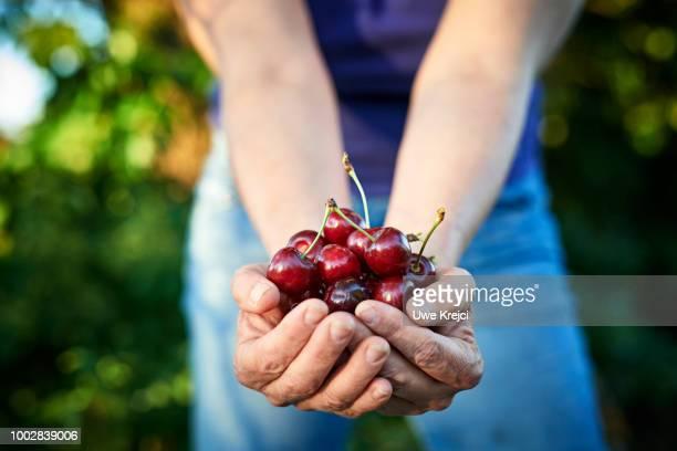 a handful of cherries - kirsche stock-fotos und bilder