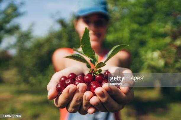 チェリーフルーツの一握り - サワーチェリー ストックフォトと画像