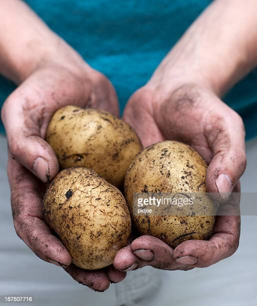 handful of freshly picked potatoes xxl - famine stock pictures, royalty-free photos & images