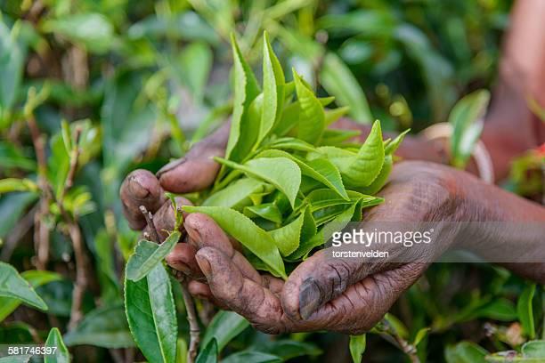 Handful of freshly picked tea leaves, Sri Lanka