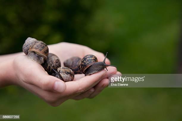 a handful of garden snails - garden snail stock photos and pictures