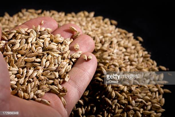 handful of malted barley - barley stock pictures, royalty-free photos & images