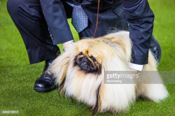 A handler attends to a Pekingese ahead of competing at the 141st Westminster Kennel Club Dog Show in New York US on Tuesday Feb 14 2017 The...