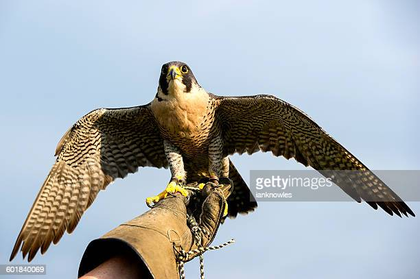 Handler holding a Peregrine Falcon
