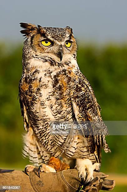 Handler holding Great Horned Owl