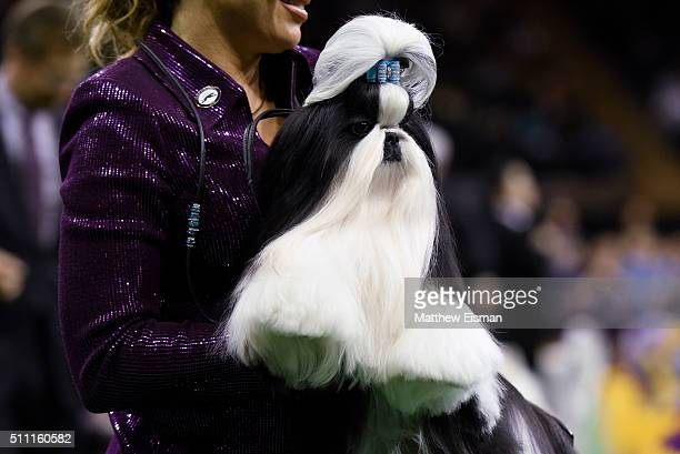 Handler Kathy Uiiich and Panda a Shih Tzu compete for 'Best In Show' during the second day of competition at the 140th Annual Westminster Kennel Club...