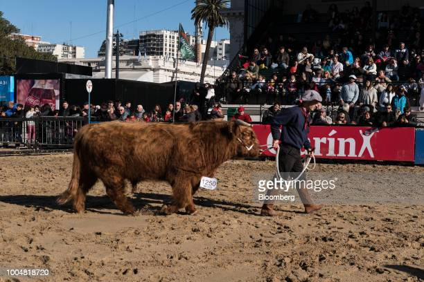 A handler leads a bull into a show ring during La Exposicion Rural agricultural and livestock show in the Palermo neighborhood of Buenos Aires...