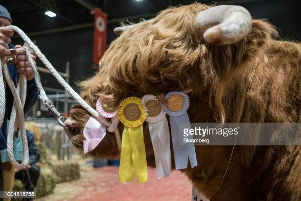 A handler leads an awardwinning bull through the livestock pavilion during La Exposicion Rural agricultural and livestock show in the Palermo...