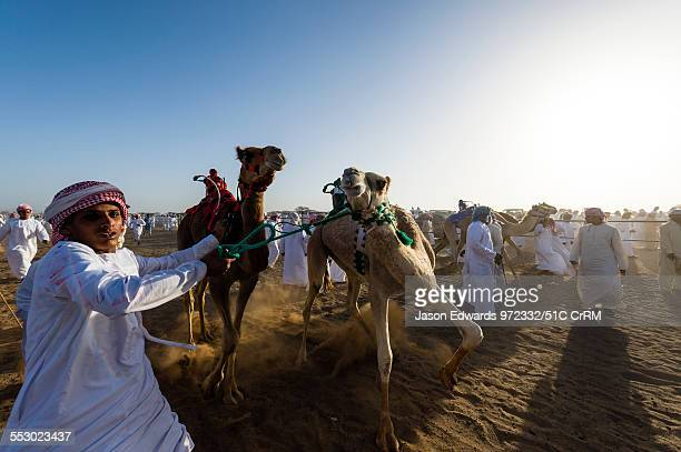 Handler maintains control of his racing camels as he leads them to the starting gate. Bidiya, Sharqiya Region, Sultanate of Oman.
