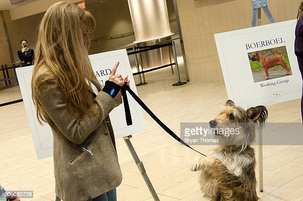 A handler plays with Chester a Berger Picard following the announcement that the Westminster Dog Show would introduce seven new dog breeds into the...