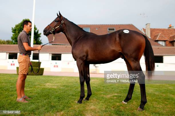 TOPSHOT A handler presents son of Dubawi and Just the Judge from 'La Motteraye Consignment' and sold for 1000 euros during during the yearlings sales...
