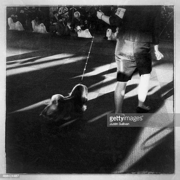 A handler runs with a Maltese during the 138th annual Westminster Dog Show at the Piers 92/94 on February 10 2014 in New York City The annual dog...