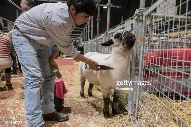 A handler shears a sheep at the livestock pavilion during La Exposicion Rural agricultural and livestock show in the Palermo neighborhood of Buenos...