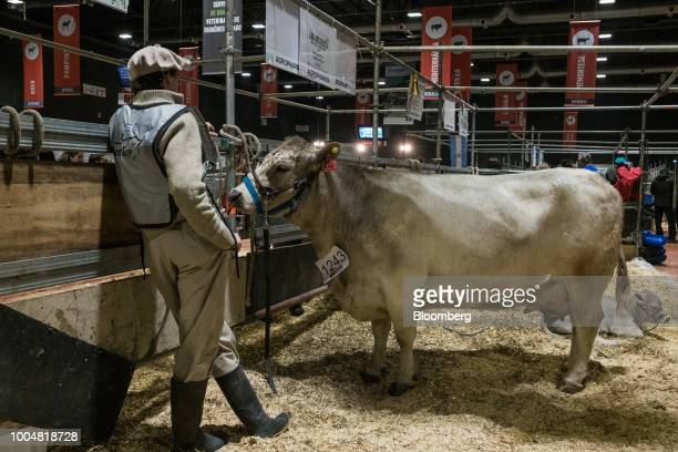 A handler stands with a cow at the livestock pavilion during La Exposicion Rural agricultural and livestock show in the Palermo neighborhood of...