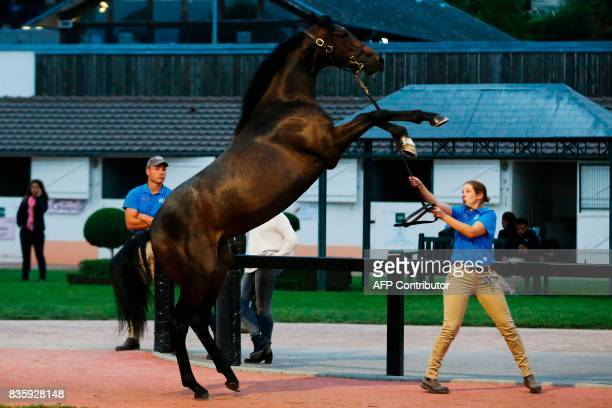 A handler trains a thoroughbred foal during the Yearlings sales one of the world renowned annual thoroughbred sales in Deauville on August 20 2017...