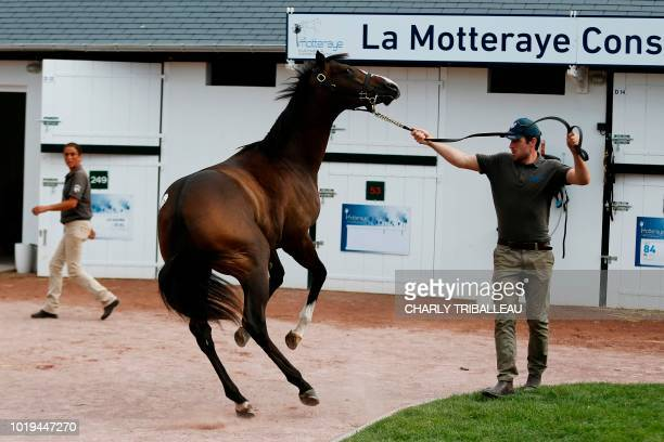 A handler walks a thoroughbred foal during the yearlings sales one of the world renowned annual thoroughbred horse sales in Deauville on August 19...