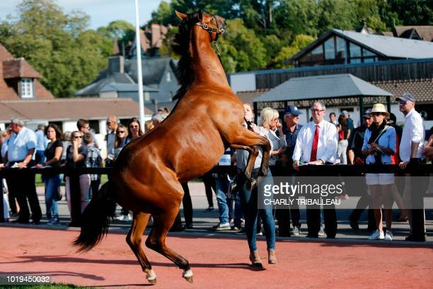 A handler walks a thoroughbred foal in front of potential buyers during the yearlings sales one of the world renowned annual thoroughbred horse sales...