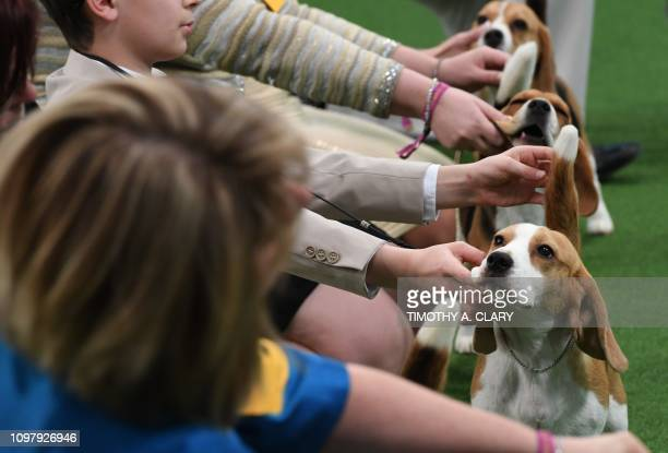 Handlers and their Beagles are seen in the judging ring during the Daytime Session in the Breed Judging across the Hound Toy NonSporting and Herding...