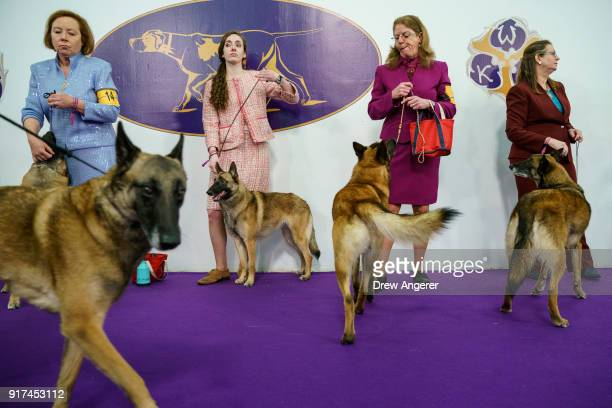 Handlers and their Belgium Malinois dogs wait to compete at the 142nd Westminster Kennel Club Dog Show at The Piers on February 12 2018 in New York...