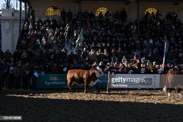 Handlers lead cattle into a show ring during La Exposicion Rural agricultural and livestock show in the Palermo neighborhood of Buenos Aires...