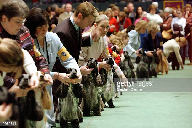 Handlers primp their Cocker Spaniels as they await the judge during a competition at the Westminster Kennel Club Show February 10 2004 in New York...