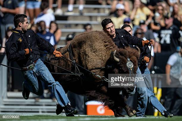 Handlers run with Colorado Buffaloes mascot Ralphie before a game between the Colorado Buffaloes and the Idaho State Bengals at Folsom Field on...