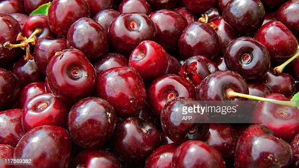 Handpicked cherries are seen during harvest at Catoctin Mountain Orchard June 17 in Thurmont Maryland The brown marmorated stink bug an invasive...