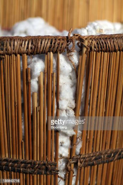 Handpicked organic cotton bolls grown for the fair trade market sit in a wicker basket after harvesting by child laborers in a field near Benvar...