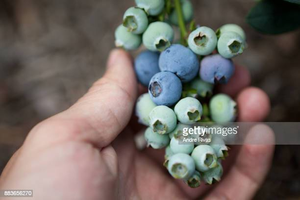hand-picking blueberries