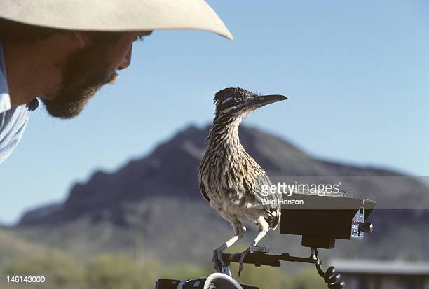 Handraised greater roadrunner sits atop Neil Rettig's motion picture camera during the production of a BBC wildlife film documentary Geococcyx...