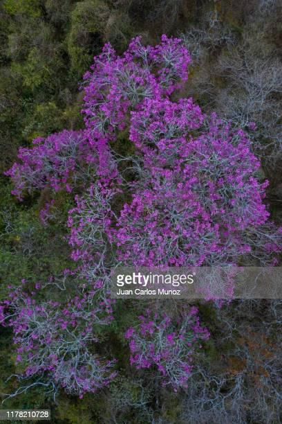 arbol lapacho rosado handroanthus impetiginosus, forest las yungas, salta province, argentina, south america, america - handroanthus stock pictures, royalty-free photos & images