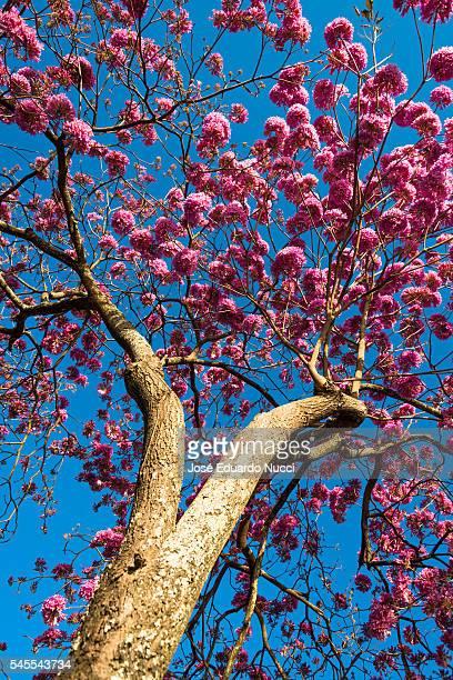 handroanthus impetiginosus - handroanthus stock-fotos und bilder