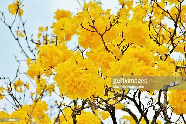 handroanthus serratifolius - handroanthus stock pictures, royalty-free photos & images