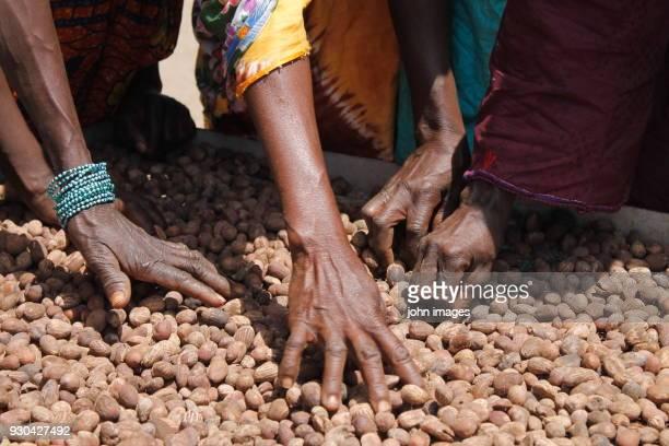 hands choosing good seed - mali photos et images de collection