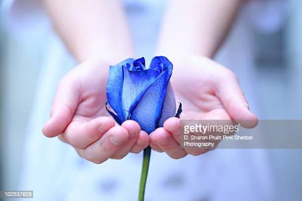 Hands cradling a blue rose