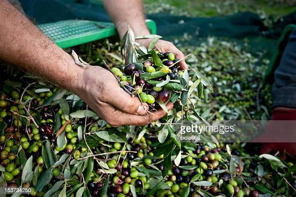 Hands Full of Olives during Harvesting