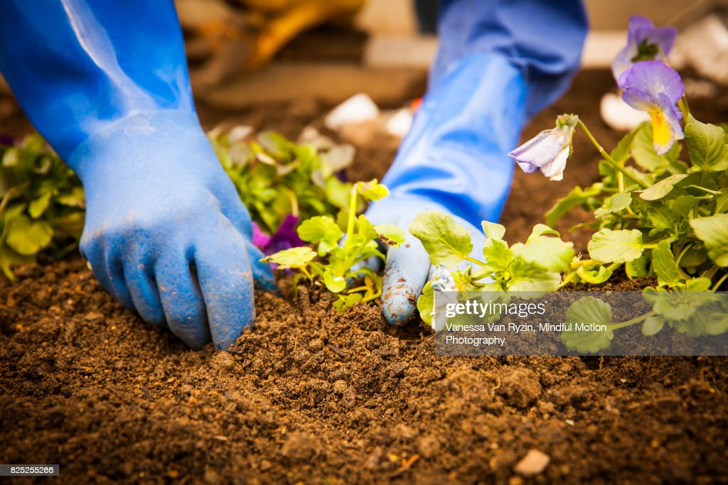Hands Gardening : Stock Photo