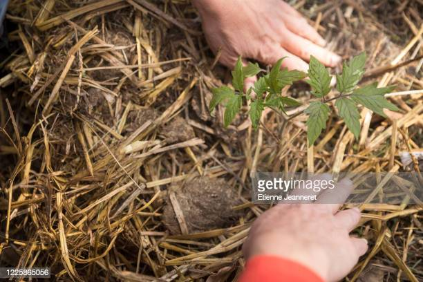 hands gathering mulch around tomato plant, montargis, france. - mulch stock pictures, royalty-free photos & images