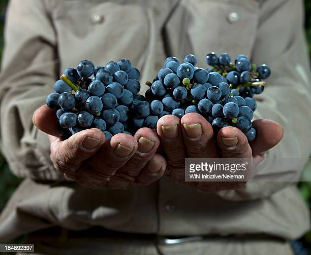 Hands holding a bunch of fresh grapes
