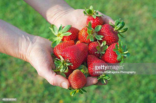 hands holding a handful of tasty strawberries