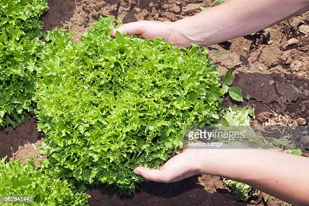 Hands holding a lettuce on a field, Baden-Wurttemberg, Germany