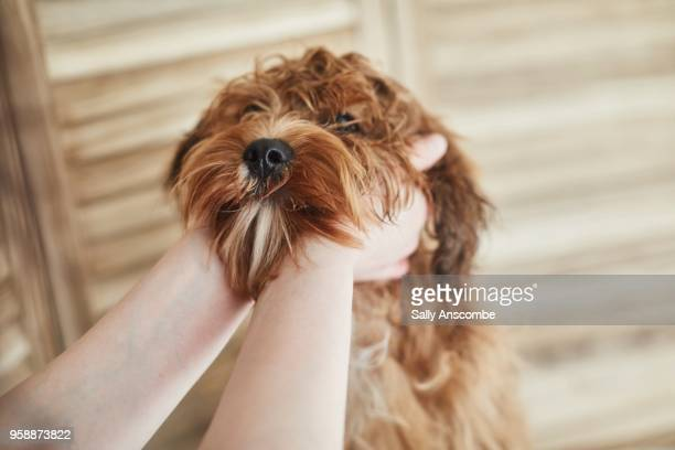 hands holding a puppy's face - 毛皮 ストックフォトと画像